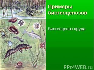 Биогеоценоз пруда Биогеоценоз пруда