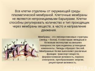 Все клетки отделены от окружающей среды плазматической мембраной. Клеточные мемб