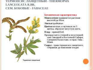 Ботаническая характеристика Ботаническая характеристика Многолетнее травянистое