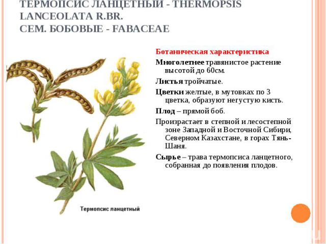 Ботаническая характеристика Ботаническая характеристика Многолетнее травянистое растение высотой до 60см. Листья тройчатые. Цветки желтые, в мутовках по 3 цветка, образуют негустую кисть. Плод – прямой боб. Произрастает в степной и лесостепной зоне …