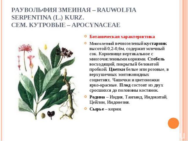Ботаническая характеристика Ботаническая характеристика Многолетний вечнозеленый кустарник высотой 0,2-0,6м, содержит млечный сок. Корневище вертикальное с многочисленными корнями. Стебель восходящий, покрытый беловатой пробкой. Цветки белые или роз…