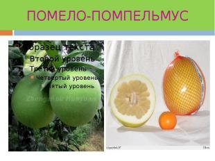 ПОМЕЛО-ПОМПЕЛЬМУС