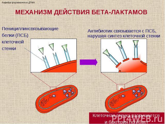 МЕХАНИЗМ ДЕЙСТВИЯ БЕТА-ЛАКТАМОВ