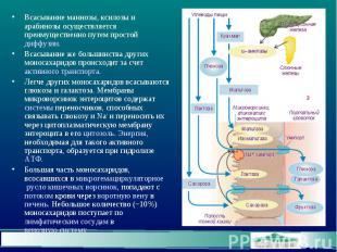 Всасывание маннозы, ксилозы и арабинозы осуществляется преимущественно путем про