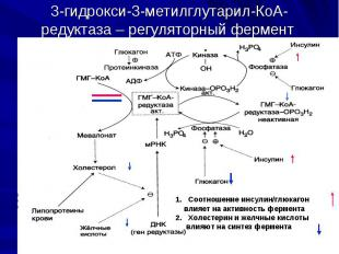 3-гидрокси-3-метилглутарил-КоА-редуктаза – регуляторный фермент