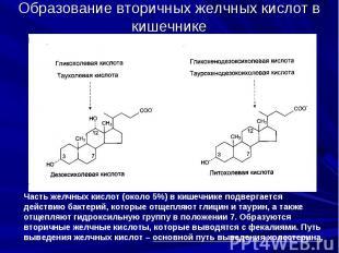 Образование вторичных желчных кислот в кишечнике