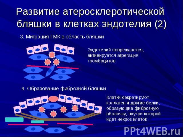 Развитие атеросклеротической бляшки в клетках эндотелия (2)