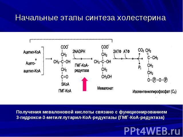 Начальные этапы синтеза холестерина
