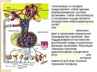 Гипоталамус и гипофиз представляют собой единую взаимосвязанную систему организм
