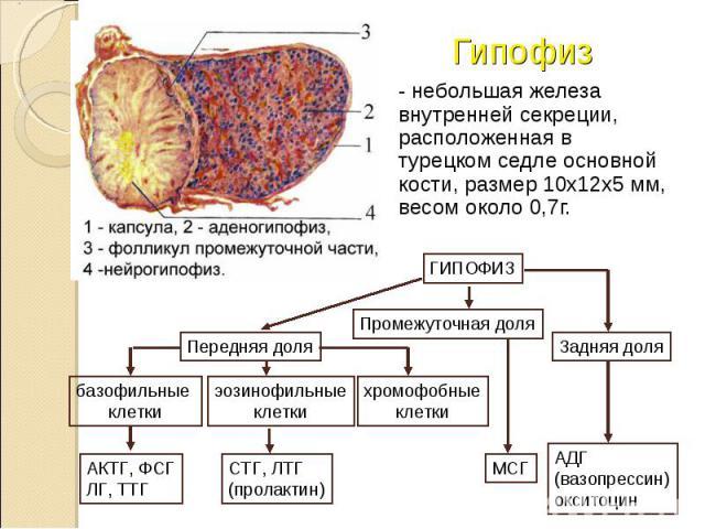 - небольшая железа внутренней секреции, расположенная в турецком седле основной кости, размер 10х12х5 мм, весом около 0,7г. - небольшая железа внутренней секреции, расположенная в турецком седле основной кости, размер 10х12х5 мм, весом около 0,7г.