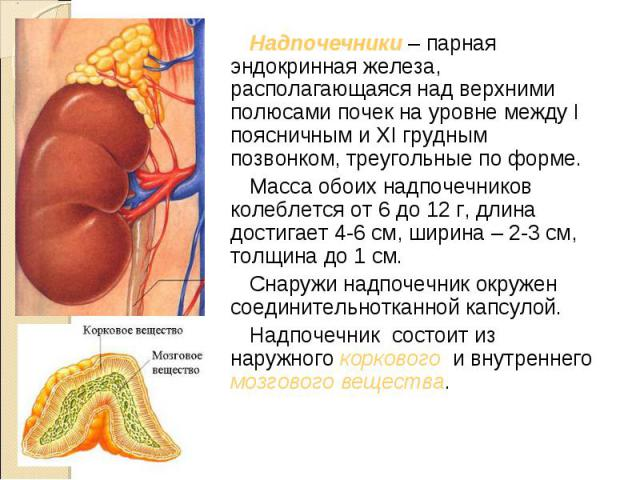 Надпочечники – парная эндокринная железа, располагающаяся над верхними полюсами почек на уровне между I поясничным и XI грудным позвонком, треугольные по форме. Надпочечники – парная эндокринная железа, располагающаяся над верхними полюсами почек на…