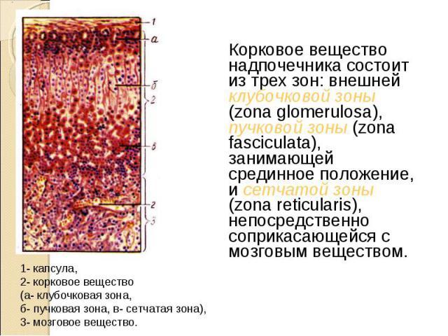 Корковое вещество надпочечника состоит из трех зон: внешней клубочковой зоны (zona glomerulosa), пучковой зоны (zona fasciculata), занимающей срединное положение, и сетчатой зоны (zona reticularis), непосредственно соприкасающейся с мозговым веществ…
