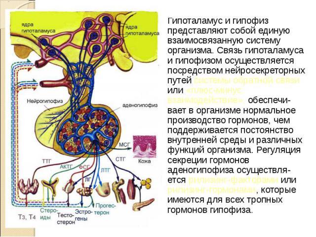 Гипоталамус и гипофиз представляют собой единую взаимосвязанную систему организма. Связь гипоталамуса и гипофизом осуществляется посредством нейросекреторных путей системы обратной связи или «плюс-минус взаимодействие», обеспечи- вает в организме но…