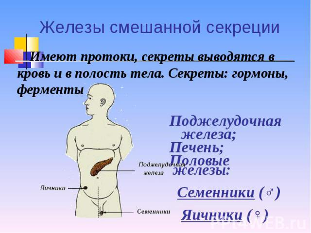 Имеют протоки, секреты выводятся в кровь и в полость тела. Секреты: гормоны, ферменты Имеют протоки, секреты выводятся в кровь и в полость тела. Секреты: гормоны, ферменты Поджелудочная железа; Печень; Половые железы: Семенники (♂) Яичники (♀)