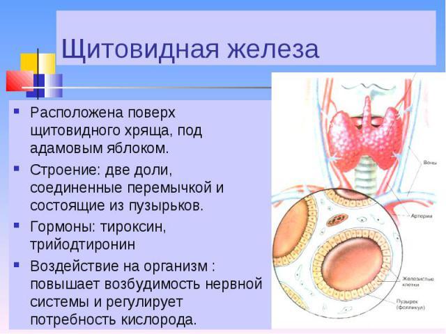 Расположена поверх щитовидного хряща, под адамовым яблоком. Расположена поверх щитовидного хряща, под адамовым яблоком. Строение: две доли, соединенные перемычкой и состоящие из пузырьков. Гормоны: тироксин, трийодтиронин Воздействие на организм : п…