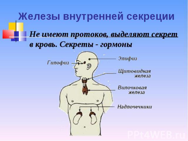 Не имеют протоков, выделяют секрет в кровь. Секреты - гормоны Не имеют протоков, выделяют секрет в кровь. Секреты - гормоны