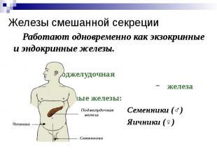 Железы смешанной секреции Работают одновременно как экзокринные и эндокринные же