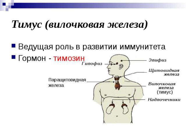 Тимус (вилочковая железа) Ведущая роль в развитии иммунитета Гормон - тимозин