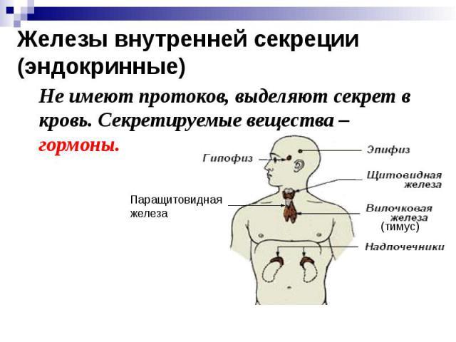Железы внутренней секреции (эндокринные) Не имеют протоков, выделяют секрет в кровь. Секретируемые вещества – гормоны.