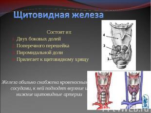 Состоит из: Состоит из: Двух боковых долей Поперечного перешейка Пиромидальной д