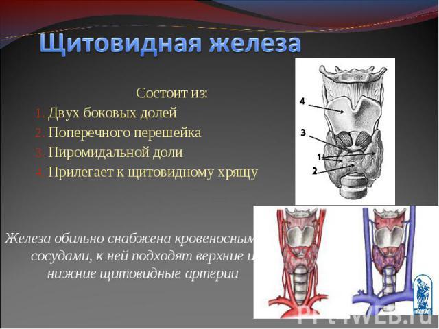 Состоит из: Состоит из: Двух боковых долей Поперечного перешейка Пиромидальной доли Прилегает к щитовидному хрящу