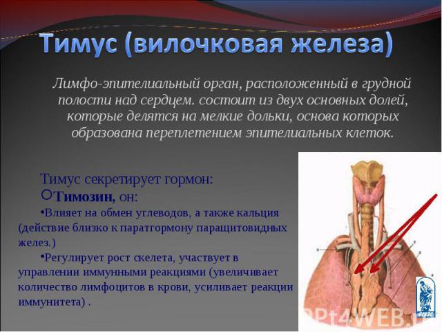 Лимфо-эпителиальный орган, расположенный в грудной полости над сердцем. состоит из двух основных долей, которые делятся на мелкие дольки, основа которых образована переплетением эпителиальных клеток. Лимфо-эпителиальный орган, расположенный в грудно…