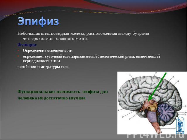 Небольшая шишковидная железа, расположенная между буграми четверохолмия головного мозга. Небольшая шишковидная железа, расположенная между буграми четверохолмия головного мозга. Функции: Определение освещенности определяют суточный или циркадианный …