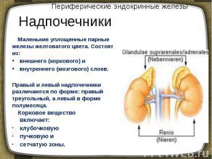 Периферические эндокринные железы Маленькие уплощенные парные железы желтоватого
