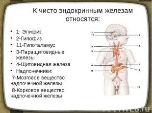 К чисто эндокринным железам относятся: 1- Эпифиз 2-Гипофиз 11-Гипоталамус 3-Пара