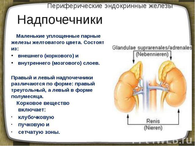 Периферические эндокринные железы Маленькие уплощенные парные железы желтоватого цвета. Состоят из: внешнего (коркового) и внутреннего (мозгового) слоев. Правый и левый надпочечники различаются по форме: правый треугольный, а левый в форме полумесяца.