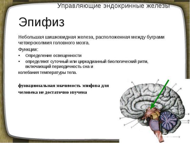 Управляющие эндокринные железы Небольшая шишковидная железа, расположенная между буграми четверохолмия головного мозга. Функции: Определение освещенности определяют суточный или циркадианный биологический ритм, включающий периодичность сна и колебан…