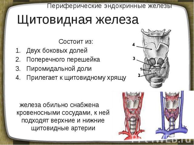 Периферические эндокринные железы Состоит из: Двух боковых долей Поперечного перешейка Пиромидальной доли Прилегает к щитовидному хрящу