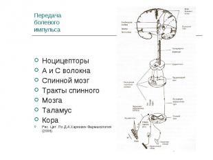 Ноцицепторы Ноцицепторы А и С волокна Спинной мозг Тракты спинного Мозга Таламус