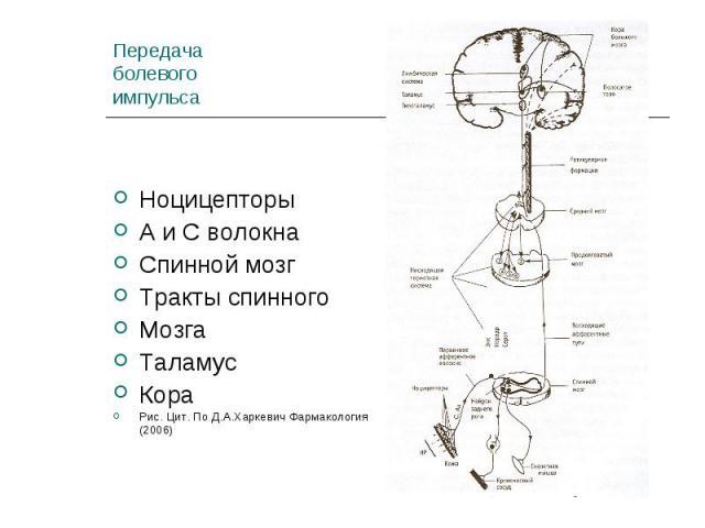 Ноцицепторы Ноцицепторы А и С волокна Спинной мозг Тракты спинного Мозга Таламус Кора Рис. Цит. По Д.А.Харкевич Фармакология (2006)