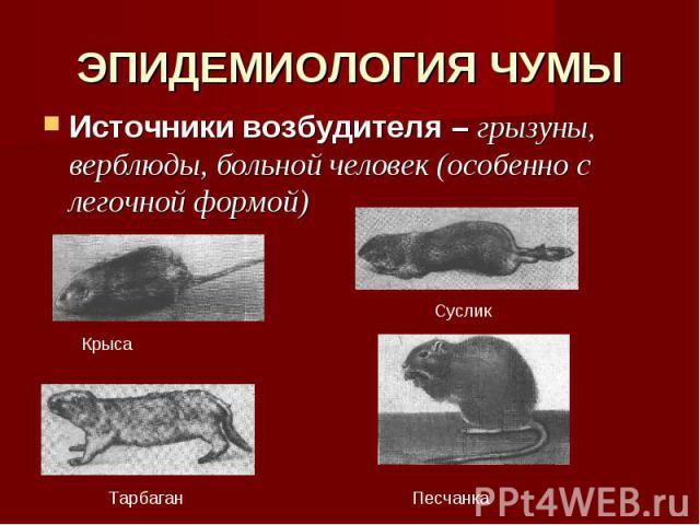 ЭПИДЕМИОЛОГИЯ ЧУМЫ Источники возбудителя – грызуны, верблюды, больной человек (особенно с легочной формой)
