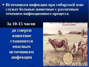 Источником инфекции при сибирской язве служат больные животные с различным течен