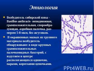 Возбудитель сибирской язвы - Basillus anthracis- неподвижная, грамположительная,