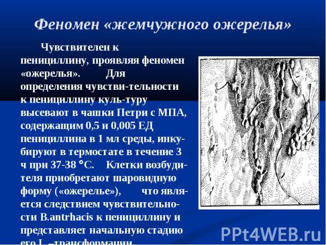 Чувствителен к пенициллину, проявляя феномен «ожерелья». Для определения чувстви-тельности к пенициллину куль-туру высевают в чашки Петри с МПА, содержащим 0,5 и 0,005 ЕД пенициллина в 1 мл среды, инку-бируют в термостате в течение 3 ч при 37-38 С. …