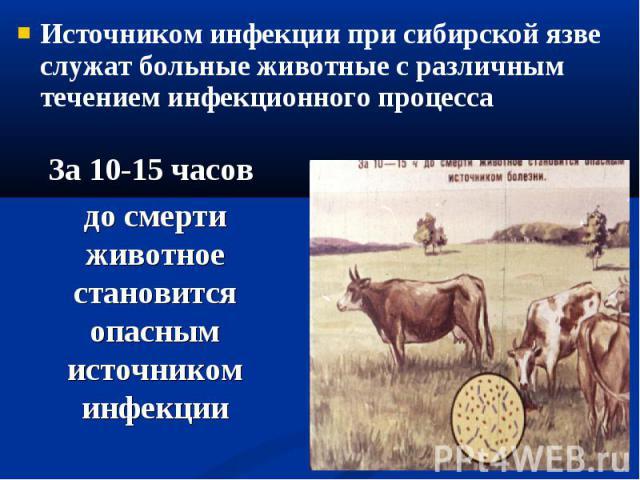 Источником инфекции при сибирской язве служат больные животные с различным течением инфекционного процесса Источником инфекции при сибирской язве служат больные животные с различным течением инфекционного процесса