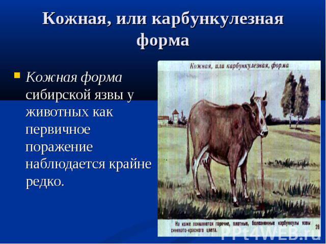 Кожная форма сибирской язвы у животных как первичное поражение наблюдается крайне редко. Кожная форма сибирской язвы у животных как первичное поражение наблюдается крайне редко.
