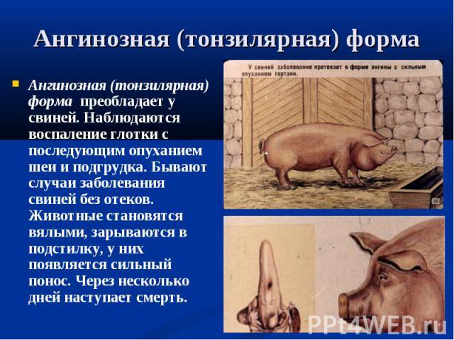 Ангинозная (тонзилярная) форма преобладает у свиней. Наблюдаются воспаление глотки с последующим опуханием шеи и подгрудка. Бывают случаи заболевания свиней без отеков. Животные становятся вялыми, зарываются в подстилку, у них появляется сильный пон…