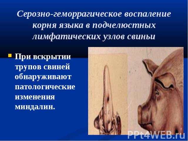 При вскрытии трупов свиней обнаруживают патологические изменения миндалин. При вскрытии трупов свиней обнаруживают патологические изменения миндалин.