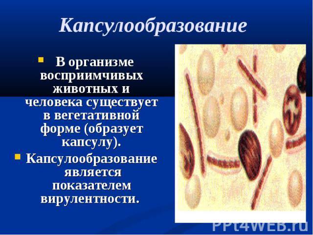 В организме восприимчивых животных и человека существует в вегетативной форме (образует капсулу). В организме восприимчивых животных и человека существует в вегетативной форме (образует капсулу). Капсулообразование является показателем вирулентности.