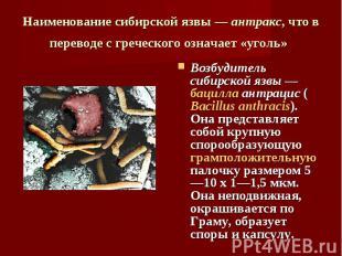 Возбудитель сибирской язвы — бацилла антрацис (Bacillus anthracis). Она представ