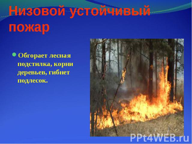 Обгорает лесная подстилка, корни деревьев, гибнет подлесок. Обгорает лесная подстилка, корни деревьев, гибнет подлесок.