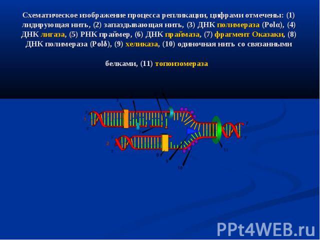 Схематическое изображение процесса репликации, цифрами отмечены: (1) лидирующая нить, (2) запаздывающая нить, (3) ДНК полимераза (Polα), (4) ДНК лигаза, (5) РНК праймер, (6) ДНК праймаза, (7) фрагмент Оказаки, (8) ДНК полимераза (Polδ), (9) хеликаза…