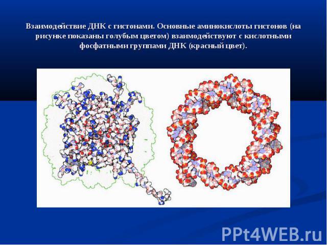 Взаимодействие ДНК с гистонами. Основные аминокислоты гистонов (на рисунке показаны голубым цветом) взаимодействуют с кислотными фосфатными группами ДНК (красный цвет).