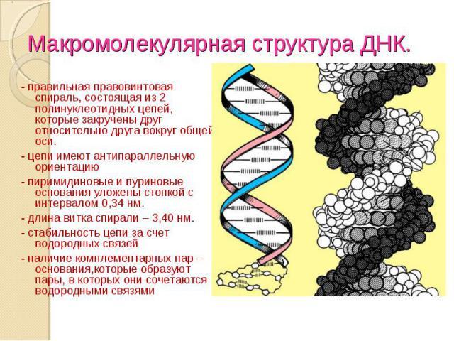 - правильная правовинтовая спираль, состоящая из 2 полинуклеотидных цепей, которые закручены друг относительно друга вокруг общей оси. - правильная правовинтовая спираль, состоящая из 2 полинуклеотидных цепей, которые закручены друг относительно дру…