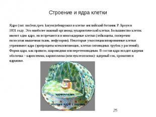 Строение и ядра клетки Ядро (лат. nucleus,греч. karyon)обнаружил в клетке англий