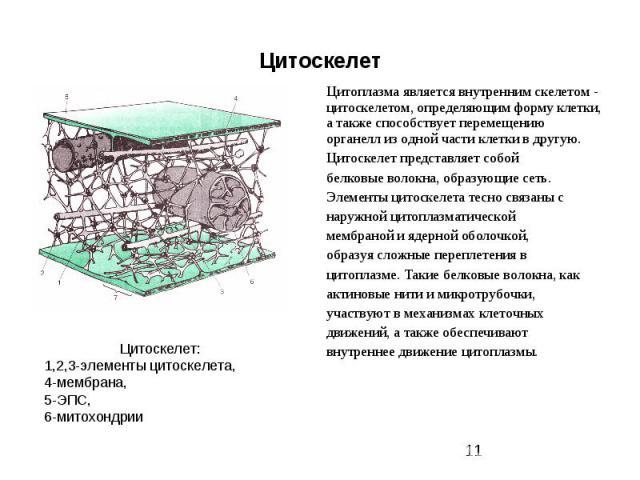 Цитоскелет